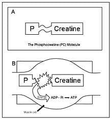 Como funciona a creatina
