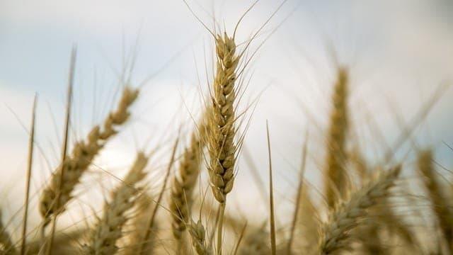 4 - Gérmen de trigo